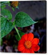 Mexican Sunflower 2 Canvas Print