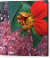 Mexican Sunflower In Mid Bloom Canvas Print