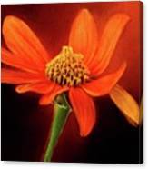 Mexican Sunflower Canvas Print