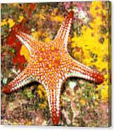 Mexico, Gulf Sea Star Canvas Print