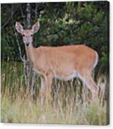 Michigan Whitetail Doe Canvas Print