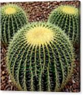 Mickey Mouse Barrel Cactus Canvas Print