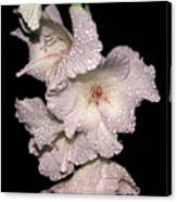 Midnite Aroma Pink Canvas Print