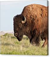 Mighty American Bison Canvas Print