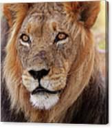 Mighty Lion In South Africa Canvas Print