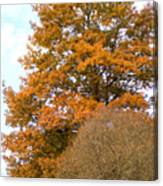 Mighty Oak In Autumn Canvas Print
