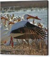 Migrating Pelicans  Canvas Print