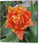 Mike's Hybrid Tulip Canvas Print