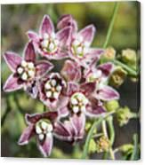 Milk Weed Vine Flowers Canvas Print