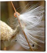 Milkweed Feathers Canvas Print
