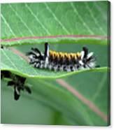Milkweed Tussock Moth Caterpillar Canvas Print
