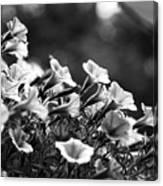 Mill Hill Inn Petunias Black And White Canvas Print