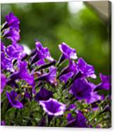 Mill Hill Inn Petunias Canvas Print