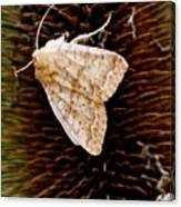 Miller Moth Canvas Print
