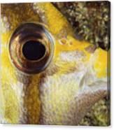 Milletseed Butterflyfish Canvas Print