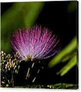 Mimosa Tree Bloom Canvas Print