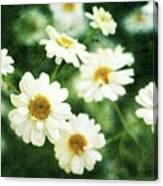 Mini Spring Daisy's Canvas Print