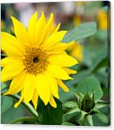 Mini Sunflower And Bud Canvas Print