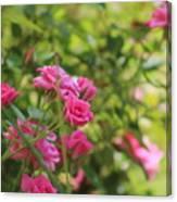 Miniature Fuchsia Roses Canvas Print