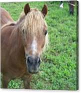 Miniature Horse Canvas Print