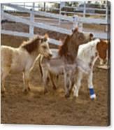 Miniature Horses Canvas Print