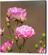 Miniature Pink Roses Canvas Print