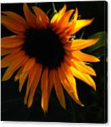 Miniature Sunflower Canvas Print