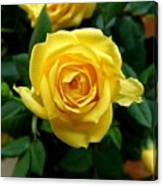 Miniature Yellow Rose Canvas Print