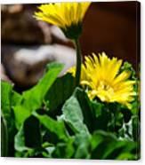 Miniature Yellow Gerbera Daisies Canvas Print