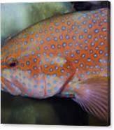 Miniatus Grouper - Cephalopholis Miniata Canvas Print