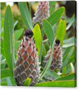 Mink Protea Flower Canvas Print