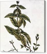 Mint Plant, 1735 Canvas Print
