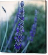 Mission Lavender Canvas Print