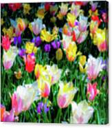 Mixed Tulips In Bloom  Canvas Print