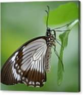 Mocker Swallowtail Canvas Print