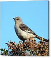Mockingbird . 7682 Canvas Print