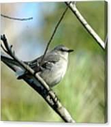 Mockingbird In Green Canvas Print