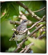 Mockingbird Youngster Canvas Print