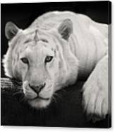 Mohan The White Tiger Canvas Print