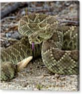 Mohave Green Rattlesnake Striking Position 3 Canvas Print