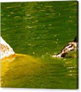 Mohawk Duck Canvas Print