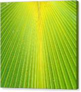 Molokai Palm Fan Canvas Print