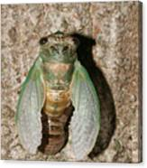 Molting Cicada #2 Canvas Print