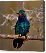 Molting Hummingbird Canvas Print