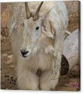 Molting Mountain Goat Canvas Print