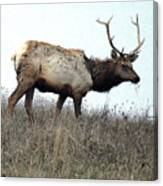 Molting Tomales Bay Elk Canvas Print