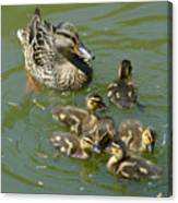 Momma Duck With Babies Canvas Print