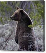 Momma Grizzly And Cubs Canvas Print