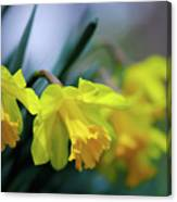 Mom's Daffs Canvas Print