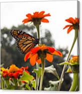 Monacrch Butterfly On A Flower Canvas Print